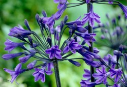 AGAPANTHUS 'Black Buddhist'
