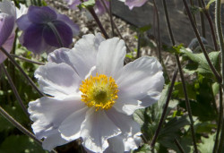 ANEMONE 'Dreaming Swan'®