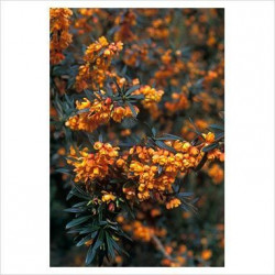 BERBERIS linearifolia 'Orange King'