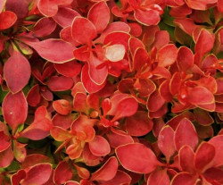BERBERIS thunbergii 'Admiration'®