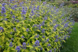 CARYOPTERIS incana 'Sunshine Blue'®