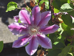 CLEMATITE 'Dr Ruppel'