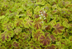 HEUCHERELLA 'Solar Eclipse'®