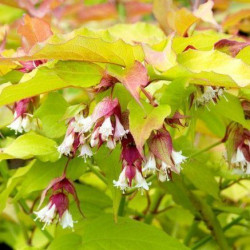 LEYCESTERIA formosa 'Golden Lanterns'