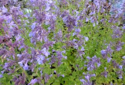 NEPETA grandiflora 'Pool Bank'
