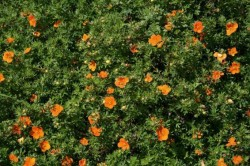 POTENTILLA fruticosa Hoppley's Orange