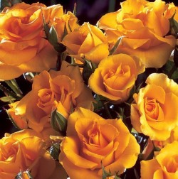 ROSIER arbustif 'GOLD COTTAGE' ® Dicentice