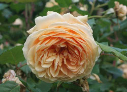Rosier AUSTIN 'CROWN PRINCESS MARGARETA'