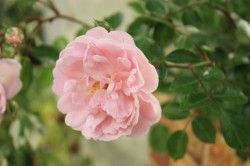 ROSIER Miniature 'LOVELY SYMPHONIE' ®Meiatjon